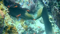 Underwater footage of titan triggerfish (Balistoides viridescens) swimming behind group of sergeantfishes and going over pristine coral reef, Komodo National Park, Indonesia. The camera is following the fish swimming.