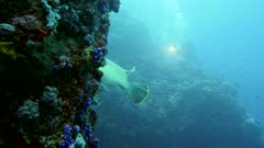 Underwater footage of napoleonfish, napoleon or humphead wrasse (Cheilinus undulatus) hovering next to travally along wall, diver with light in the background, Komodo National Park, Indonesia. The camera is going along the wall towards the fishes.