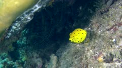 Underwater footage of juvenile yellow boxfish (Ostracion cubicus) swimming near feather star under coral. The camera is staying as still as possible.