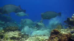 Underwater footage of group of bumphead or humphead parrotfishes (Bolbometopon muricatum) swimming above reef. The camera is following the parrotfishes.