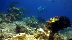 Underwater footage of group of bumphead or humphead parrotfishes (Bolbometopon muricatum) swimming above reef with various tropical fishes around and diver in the background. The camera is staying as still as possible.
