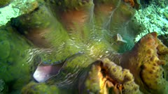 Underwater footage of huge giant clam (Tridacna sp.) with a greenish mantle and blue spots closing itself. The camera is facing down at the clam and is going above it.