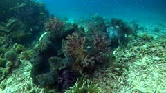 Underwater footage of huge giant clams (Tridacna sp.) laying down on bottom with colorful soft coral trees growing on their shell. The camera is going over the clam before going away.