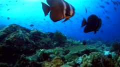 Underwater footage of a few tall-fin batfishes (Platax teira) swimming over pristine hard and soft coral reef teaming with life, group of rainbow runners in the background. The camera is going over the reef.