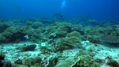 Underwater footage of pristine hard and soft coral reef with different colorful fishes like blue spotted stingray and gloden travally swimming around it, diver in the background. The camera is panning along the reef.