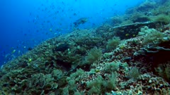 Underwater footage of pristine hard and soft coral reef teaming with life with fishes like snapper, moorish idol, damselfishes and many more. The camera is going over the reef.