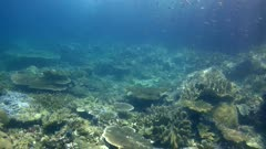 Underwater footage of pristine hard and soft coral reef with big table coral and many fishes swimming over it. The camera is panning along the reef.