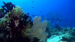 Underwater footage of gorgonian fan, green tree coral and sponge growing over rock with school of surgeonfishes in the background. The camera is staying as still as possible.