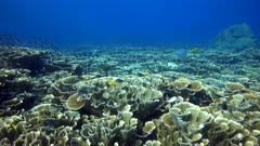 Underwater footage of pristine reef with massive field of lettuce hard coral and many tropical fishes like snappers, damselfishes, trevallies and much more. The camera is going over the reef while panning.