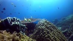 Underwater footage of big coral bommie with table coral growing on top, anthias and damselfishes swimming above and pristine hard and soft coral reef around. The camera is turning along the bommie.