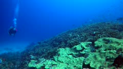 Underwater footage of pristine reef with massive field of lettuce hard coral, cloud of damselfishes and diver swimming over it. The camera is going sideway over the reef while panning.