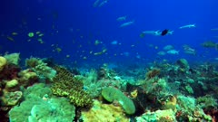 Underwater footage of pristine hard and soft coral reef teaming with life and school of fishes like jackfishes, anthias, snappers, and barracudas swimming over it. The camera is going over the reef while turning.