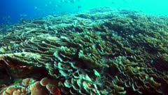 Underwater footage of huge field of lettuce and plate coral with fishes like damselfishes, bigeyes, fusiliers and much more swimming over it, divers below Raja Ampat, Indonesia. The camera is going over the reef while panning.