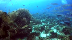 Underwater footage of pristine hard and soft coral reef teaming with life and school of fishes like rainbow runners, anthias, snappers, surgeonfishes and damselfishes swimming over it, divers in the background. The camera is panning along the reef.