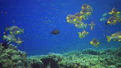 Underwater footage of group of oblique-banded sweetlips (Plectorhinchus lineatus) hovering above pristine hard and soft coral reef. The camera is panning along the reef.