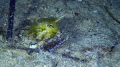 Underwater footage of juvenile longhorn cowfish (Lactoria cornuta) swimming on sandy area. The camera is following the fish.
