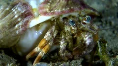 Underwater footage of anemone hermit crab (Dardanus pedunculatus) turning from left to right, close up on the head. The camera is staying as still as possible.