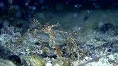 Underwater footage of decorator spider crab (Achaeus sp.) with leaf like things on whole body walking on rubble. The camera is following the crab.