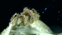 Underwater footage of unknown decorator spider crab with  hydroid on whole body opening and closing its legs maybe to catch prey. The camera is staying as still as possible.