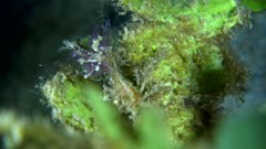 Underwater footage of unknown decorator crab (probably two spine crab from hyastenus sp.) with many stuff including hydroid and purple branches fixed on its head like a flower walking  on leaf. The camera is staying as still as possible.