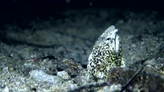 Underwater footage of marbeled snake eel (Callechelys marmorata) with its head sticking out of the sand. The camera is staying as still as possible.