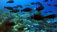 Underwater footage of napoleon wrasse swimming through group of surgeonfishes and snappers on sandy area with few coral boulders. The camera is going through the fishes following the napoleon.