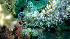 Underwater footage of yellow papillae flatworm (Thysanozoon nigropapillosum) moving over colorful coral. The camera is staying as still as possible.