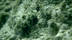 Underwater footage of signal goby (Signigobius biocellatus) in front of its hole going up and down. The camera is staying as still as possible.