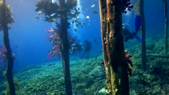 Underwater footage of jetty with wooden posts and colorful soft coral growing on them, various fishes and divers swimming in between. The camera is going sideway along the jetty.