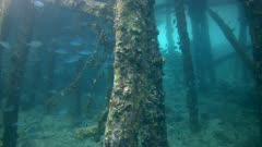 Underwater footage of jetty with wooden posts and huge group of fusiliers and trevallies swimming in between. The camera is going sideway along the jetty.