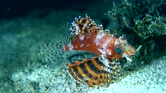 Underwater footage of shortfin lionfish (Dendrochirus brachypterus) swimming down to sand and staying still. The camera is following the fish and then staying as still as possible.