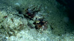 Underwater footage of shortfin lionfish (Dendrochirus brachypterus) staying still and suddenly catching food passing nearby. The camera is staying as still as possible.