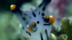 Underwater footage of pikachu sea slug (Thecacera picta) on top of branch, close up on head. The camera is staying as still as possible.