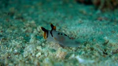 Underwater footage of pikachu sea slug (Thecacera picta) moving over sand. The camera is staying as still as possible.