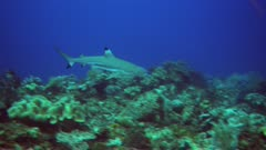 Underwater footage of blacktip reef shark (Carcharhinus melanopterus) swimming over pristine hard and soft coral reef just in front of divers. The camera is following the shark.