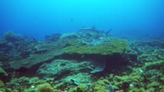 Underwater footage of blacktip reef shark (Carcharhinus melanopterus) swimming over pristine hard and soft coral reef with various fishes around. The camera is following the shark.