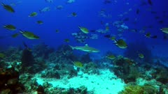 Underwater footage of blacktip reef shark (Carcharhinus melanopterus) swimming on sandy area with hard and soft coral patches, snappers, surgeonfishes and much more are swimming around. The camera is following the shark.