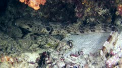 Underwater footage of raja epaulette shark (Hemiscylliium freycineti) resting and walking on sandy area with some dead coral around, close up on head. The camera is slowly moving to keep the shark in the frame.