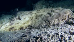 Underwater footage of tasselled wobbegong shark (Eucrossorhinus dasypogon) laying down and resting on sand. The camera is staying as still as possible.