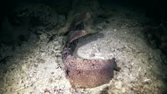 Underwater footage of tasselled wobbegong shark (Eucrossorhinus dasypogon) laying down and resting on sand. The camera is going over the shark.