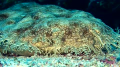 Underwater footage of tasselled wobbegong shark (Eucrossorhinus dasypogon) laying down and resting under coral bommie, close up on mouth. The camera is staying as still as possible.