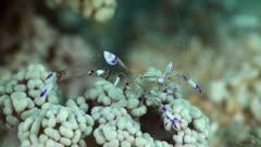 Underwater footage of magnificent anemone shrimp (Ancylomenes magnificus) moving its body on bubble coral. The camera is staying as still as possible.