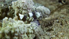 Underwater footage of huge peacock-tail anemone shrimp (Periclimenes brevicarpalis) moving on its unknown anemone host. The camera is staying as still as possible.