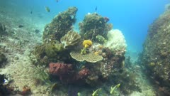 Underwater footage of pristine hard and soft coral reef teaming with life and fishes like sweetlips, anthias and damselfishes swimming over it. The camera is going towards the boulder while turning.