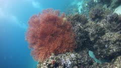 Underwater footage of pristine soft coral reef including gorgonian fan and divers in the background. The camera is ascending backward while turning.