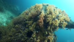 Underwater footage of pristine orange soft coral bommie. The camera is going along the boulder.