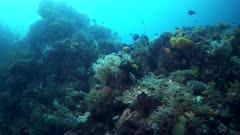 Underwater footage of pristine colorful soft coral reef teaming with life. The camera is panning along the reef.