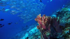 Underwater footage of colorful coral with big school of bigeye trevallies (Caranx sexfasciatus). The camera is going towards the coral.