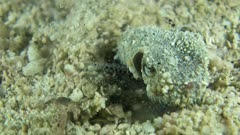 Underwater footage of bobtail squid (Euprymna berryi) digging the sand with its tentacles to burry itself. The camera is staying as still as possible.