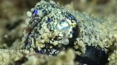 Underwater footage of bobtail squid (Euprymna berryi) burried in the sand with tiny shrimps swimming around, close up on head. The camera is staying as still as possible.